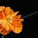 Orangen-Mohn